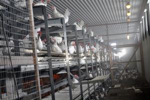 2009 byggdes stallet för de 6 000 hönsen.