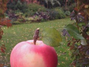 När jag hittade ett av de sista äpplena på vårt äppelträd så  tyckte jag att det passade så bra med vår höstiga trädgård som bakgrund till det. Resultatet blev inte sämre av att det blev en blixt som lyste upp äpplet.
