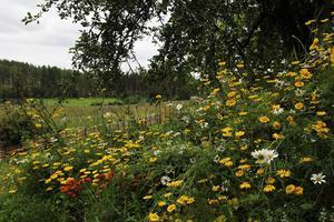 Prunkande blommor i Olofssons trädgård.