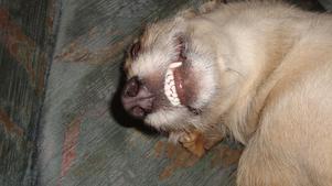 Hunden Vilsa är på sitt lekfulla humör och visar tänderna mot sin husse som passar på att knäppa en bild.