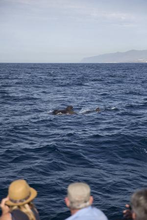 Grindvalarna trivs i havet utanför Teneriffa.