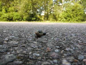 Snigel på väg!Tur att vägen är så lite trafikerad - det tar tid att komma över om man är snigel!