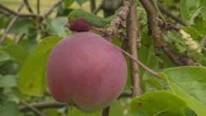 Ett välmående äpple tillsammans med ett som inte klarade sig.