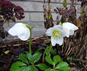 Konstig mild vinter! Utanför vårt hus blommar en julros. Blomdiameter c:a 6 cm.