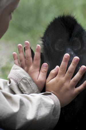 Besökte Parken Zoo i måndags. Vädret (18 grader och mulet) gjorde att det var väldigt bra fart på djuren. När en av aporna kom fram och tryckte sina händer mot glasrutan gjorde en liten pojken likadant. Tycker att det blev en väldigt fin bild.