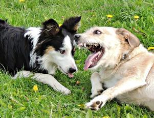 Plötsligt förvandlades min snälla hund, Vilsa,(höger)till ett rytande lejon! Tur att det bara var lek.