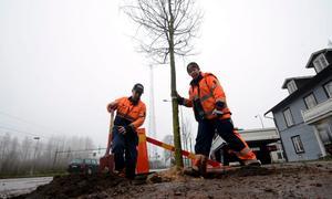 Jerker Kindgren och Ingrid Grevillius från kommunens miljö- och teknikförvaltning planterade under torsdagen 14 lindar utmed Stationsgatan i Vretstorp.Foto: Samuel Borg