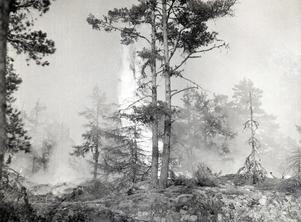 Skogsbrand i Pellemossen, Häverödal, 1956.