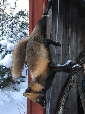 Mårdhund, nej en räv.