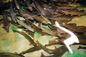 På Vattenbrukscentrum i Kälarne avlas rödingar fram som är optimala för att odlas. Överskottet i avelsprogrammet blir den sättfisk som lokala odlare köper. Det finns också andra lokala odlare, men den fisk som fick slaktas ut kom från importerad amerikansk rom.