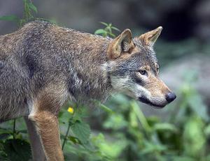 Vargen på bilden är inte den varg som syntes i Ockelbo. Bilden är tagen i ett annat sammanhang.