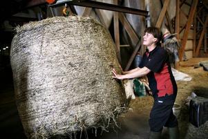 Tätt förpackat hö som legat i emballage utomhus blir nu ett skrovmål för kossorna.