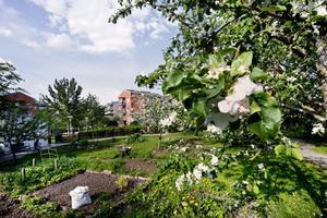 Fruktträd, hallonbuskar, vinbär och odlingslotter förstärker känslan av att leva på landet fast man bor i stan.