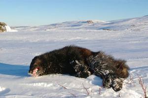 Insändarskribenten skriver att järvstammen i Sverige är hotad. På bilden en järv skjuten under skyddsjakt i Offerdalsfjällen i februari 2009.    Foto: Länstyrelsen