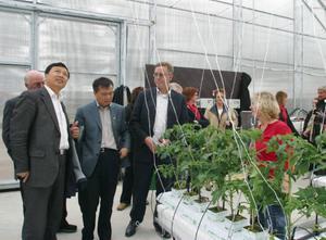 Nu har 2 200 tomatplantor kommit på plats i NBE  Swedens  försöksväxthus.