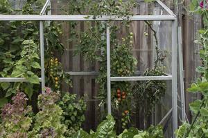 Odling. Familjen Henriksson odlar bland annat tomater, vindruvor, squash, rabarber och kryddor.