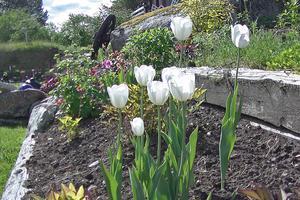 Säsongen har precis börjat men det blommar för fullt i Michael herbertssons trädgård