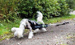 Den kinesiska nakenhunden Morris vann sitt första SM-guld i somras. Tidigare har han fått se sig besegrad av Bosse – som också är hans morbror.