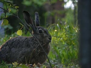Gick en promenad i skogen och upptäckte att en hare satt och iakttog mig.