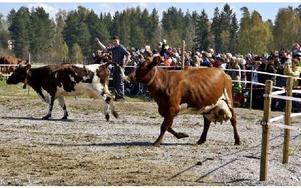 Kosläppet vid Stiernhöksgymmnasiet lockade många besökare.FOTO: HANS BLOOM