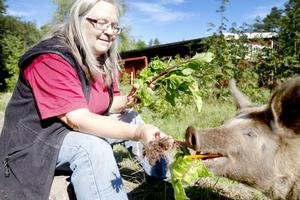 käkar ekologiskt. Gunilla Strömstedt matar grisarna med favoritfödan–ekologiskt odlad mangold.