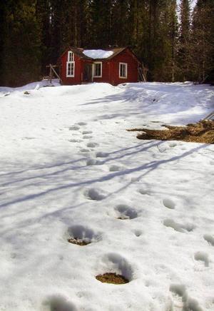 André Dahlin  tog bilder direkt efter att han upptäckt det oväntade besöket i stugan. Här syns spåren efter björnens ramar tydligt i snön.