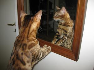 bengalen Rhambo 2 år tittar i spegel undrar om han vackrast i världen är :)