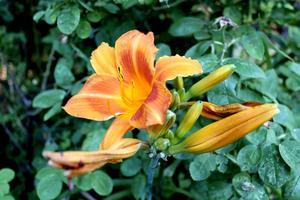 Dagliljor förgyller sensommarens trädgård hos Berglunds. Här en orange variant.