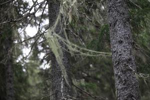 Långskäggslaven hänger som girlanger mellan trädgrenarna.