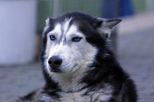 Siberian husky återfinns i flertalet kommuner.