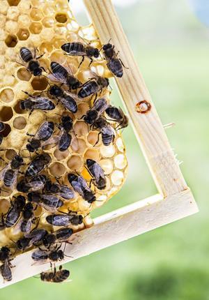 I en del av ramarna byggs bon för bilarver, i andra bor det drönarbin, som är de enda hankönade bina och vars enda uppgift, vad man hittills kunnat konstatera, är att para sig med drottningen efter vilket de dör.