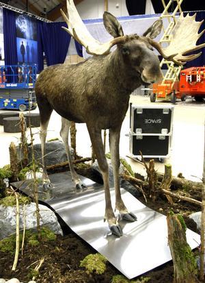 En vän från djurriket. En älg har också fått plats, på ett av Sandviks transportband.
