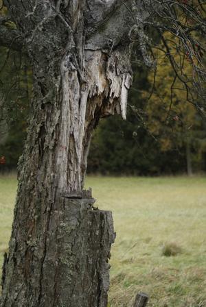 Detta trasiga träd står i en allè i Hedensberg, och man får hoppas att det inte blir storm snart då det förmodligen kommer falla ner mot vägen... Med lite fantasi skulle trädet kunna vara kommet ur en serietidning och gestalta en trädgubbe med stort hår!