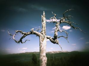 Ett träd jag alltid återvänder till i Mjölkvattnet.