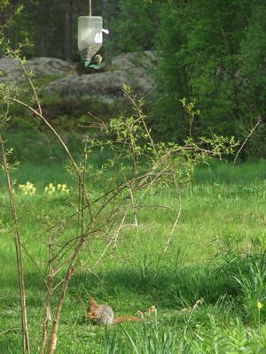 Sen är det grönfinkens tur att jobba och ekorrhonan får sig lite till livs.