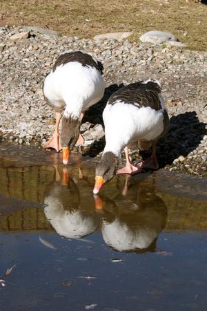 Två gäss som dricker vatten eller de kanske speglar sig, bedöm själva.