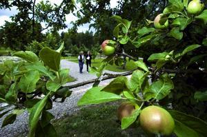 Anrika äpplen. Stabergs fruktträdgård har fått äran att bevara fyra olika äppel- och päronsorter från Dalarna som ingår i ett nationellt klonarkiv.