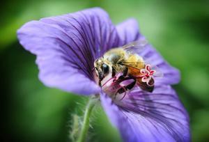 Bina har svårt att hitta nektar och pollen.