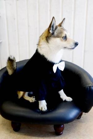Dressed for success. Ludde i svart t-shirt med vit fluga. Han sitter på en hundsäng i form av en liten skinnsoffa!
