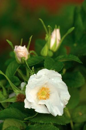 Trädgårdsvitt. Rosa alba Suaveolens, kallas även Semiplena, och är en härdig, skuggtålig och lättodlad buskros som blommar rikligt och doftar starkt.