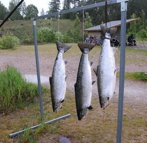 Just nu är bästa perioden för fiske efter lax i Älvkarleby.Dessa tre fångades från Korallen på Fallens dag.