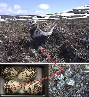 De här äggen tog boplundrare från Ljungpiparen en stund efter att bilden togs på boet i Stekenjokk. Prickarna på äggen i lådan som senare beslagtogs - till vänster - visar att det är samma ägg som finns på bilder i kameran hos en av de misstänkta boplundrarna.