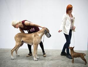 Grand Danoishunden Tingeling och dvärgpinschern Dessie möttes i ringen i kampen om titeln som bästa veteranhund.
