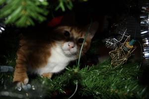 Katten Trisse har upptäckt Julgranen och alla dess dekorationer..