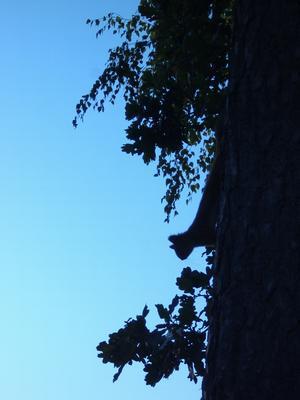 Nyfikenheten tog överhanden för ekorren, då jag stod där vid tallen med min kamera.Ekorren sprang upp- och nedför furustammen. I silhuetten syns blad avek och björk som står bakom tallen.