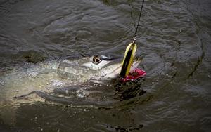 Gäddan är en glupsk rovfisk med  en mun full av sylvassa tänder.