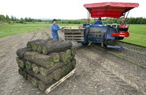 Varje pall gräsmatta väger över ett ton och innehåller 50 kvadratmeter gräsmatta.
