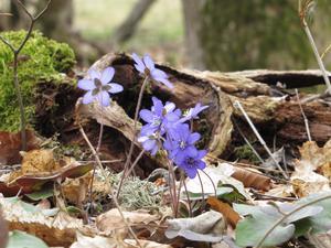 Dags för det årliga besöket på Åholmen, nu är blåsipporna som vackrast och snart blommar också vitsipporna.
