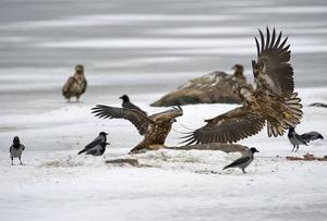 ANDRA FÅGLAR. Även andra fåglar drogs till den utplacerade maten.