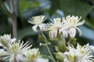 Småblommiga klematis är något av en svensk specialitet. Blommorna är lätta att sköta och passar i svenskt klimat.